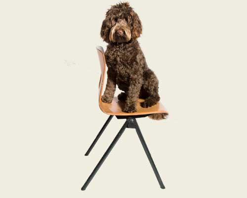 Australian Labradoodle stoel